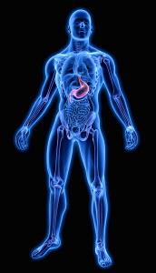 Illuminated human stomach in anatomical model