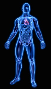 Illuminated human heart in blue anatomical model