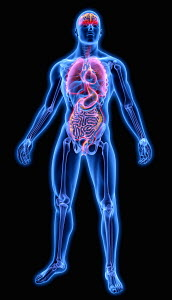 Illuminated human organs in blue anatomical model