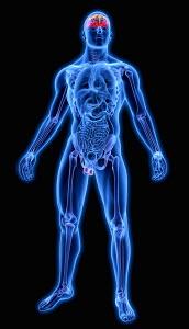 Illuminated human brain and testes in blue anatomical model