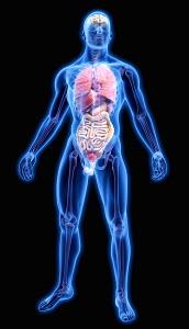 Bones and human organs in blue anatomical model