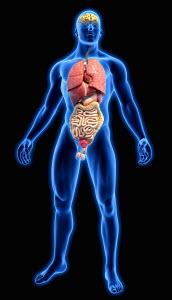 Human organs in blue anatomical model