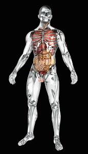Human organs in transparent anatomical model