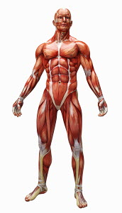 Human muscles and tendons covering anatomical model
