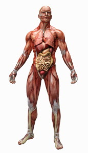 Human muscles, tendons and organs of anatomical model