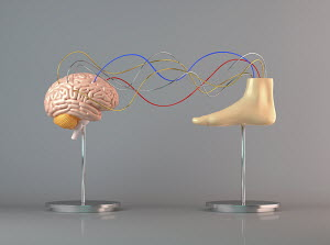 Cables connecting human brain to foot