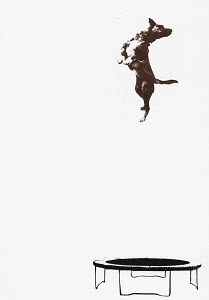 Dog jumping on trampoline