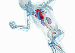 Anatomical model of running man with brain, heart, kidneys and bladder