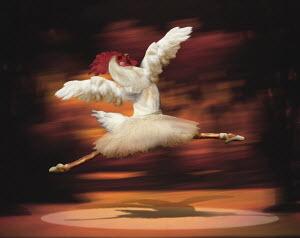 Rooster dancing ballet