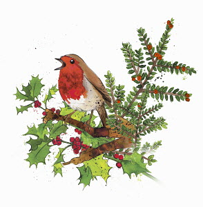 Robin redbreast sitting on sprig of holly and cotoneaster with red berries in winter