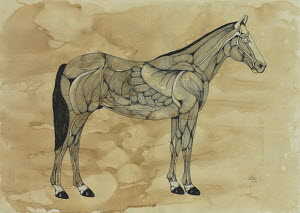 Muscles on horse