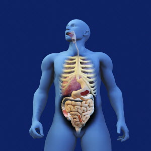 Digestive system of anatomical model