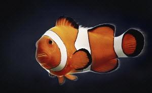 Single clown fish