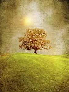 Golden single tree in rolling landscape