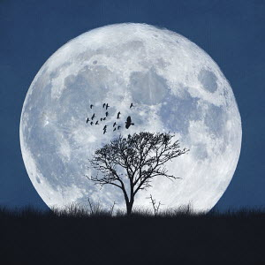 Enormous full moon behind silhouetted single tree and flying birds