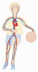 Biomedical illustration of cardiovascular system of boy playing ball