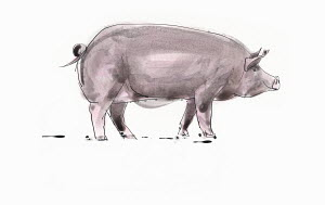 Single pig