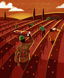 Migrant fruit pickers working in field at sunset
