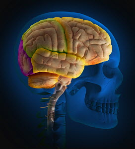 Computer generated biomedical illustration of the skull and the lobes of the human brain