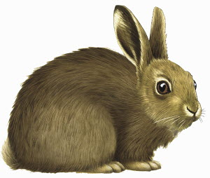 Close up of common rabbit (Oryctolagus cuniculus) on white background