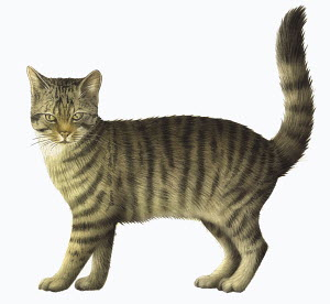 Close up of striped domestic cat on white background