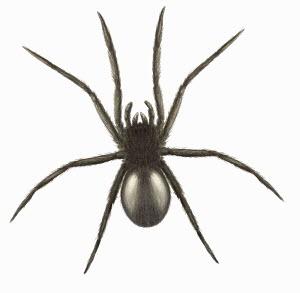 Close up of Tube web spider, Segestria florentina, on white background