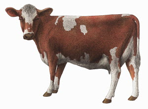 Guernsey cow on white background