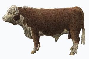Hereford bull on white background