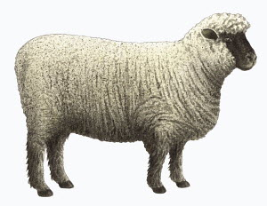 Oxford Down sheep on white background
