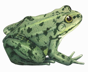 Close up of edible frog (Rana esculenta) on white background