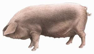 British lop pig, on white background