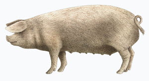Welsh pig, on white background