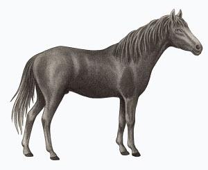 Caspian horse (Equus ferus caballus) on white background