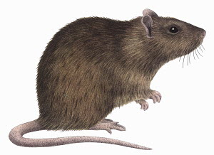 Close up Brown rat (Rattus norvegicus) on white background
