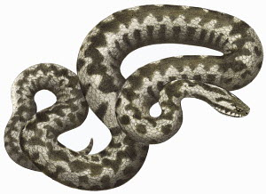Adder (Vipera berus) snake on white background