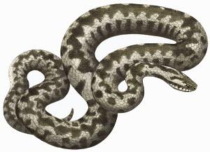 Adder (Vipera berus) snake on white background