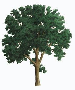 Single tree on white background, Ash (Fraxinus excelsior)