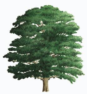 Single tree on white background, Oak (Quercus robur)