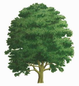 Single tree on white background, Sycamore (Acer pseudoplatanus)