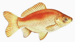 Close up Common goldfish (carassius auratus) on white background