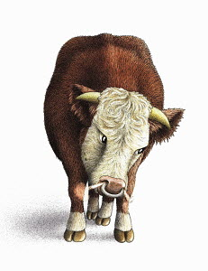Front view of snorting Hereford bull on white background