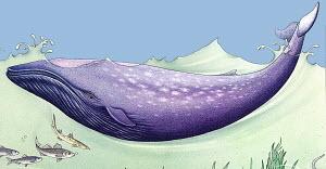 Blue whale (Balaenoptera musculus) splashing in ocean