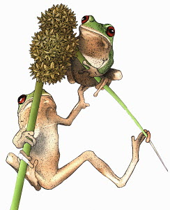 Two tree frogs on plant stalks