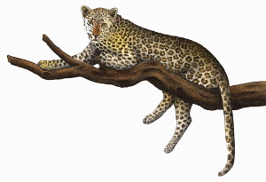 Leopard (Panthera pardus) relaxing on branch