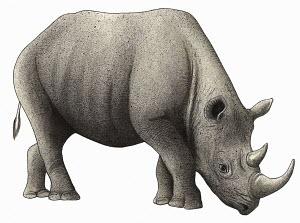 Black rhinoceros (Diceros bicornis) on white background