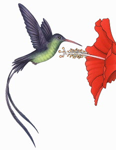 Hummingbird (Mellisuga) hovering near red flower