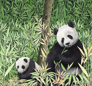 Adult and baby pandas eating bamboo in the wild