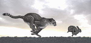 Cheetah chasing rabbit