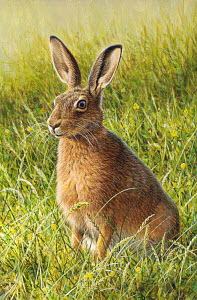 Brown hare (Lepus capensis) sitting in grass