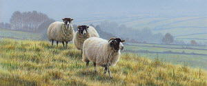 Blackface sheep in countryside